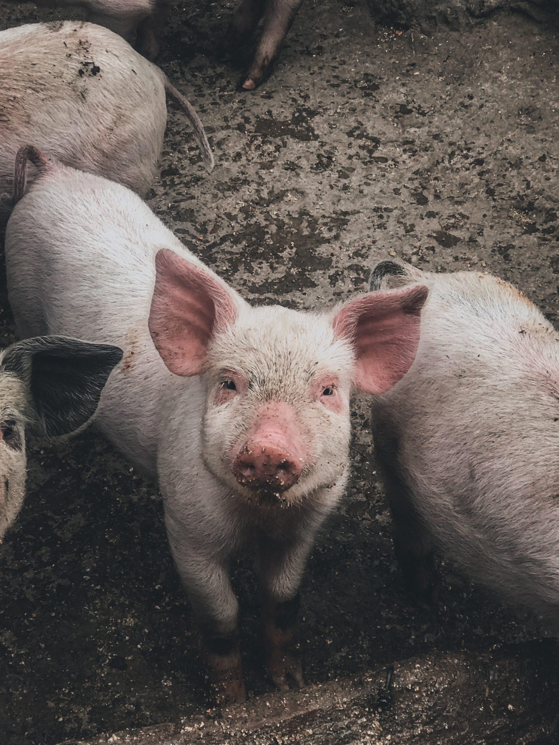 pigs walking around in pig slop and mud