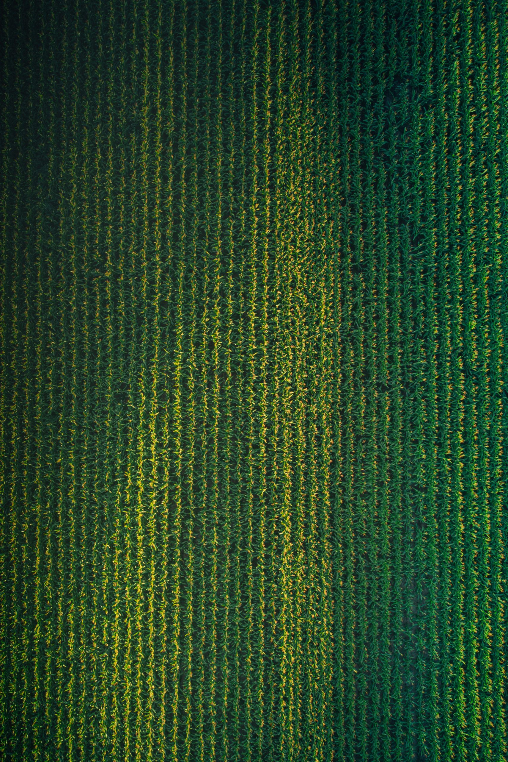 top view of rows of green corn in a field used for high fructose corn syrup