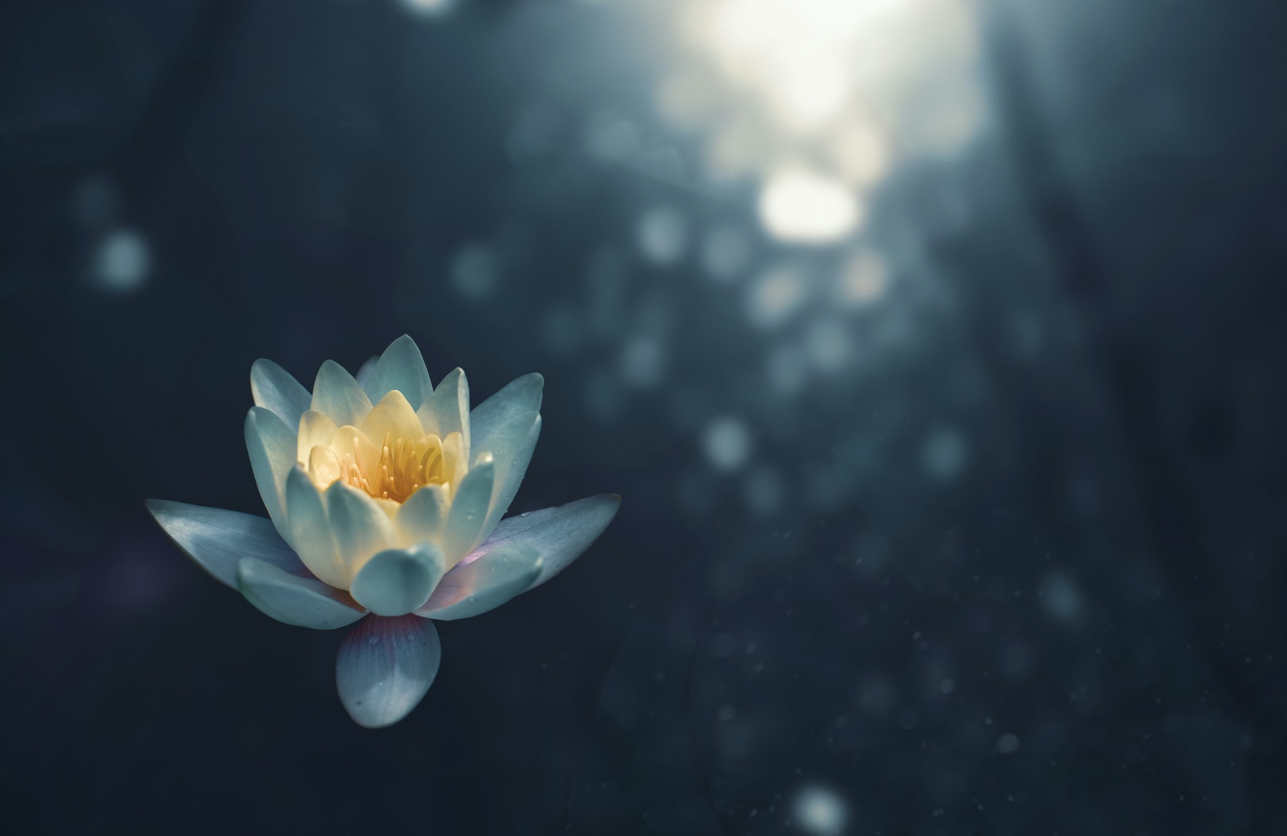 beautiful lotus flower floating on top of a lake with light shining on the surface