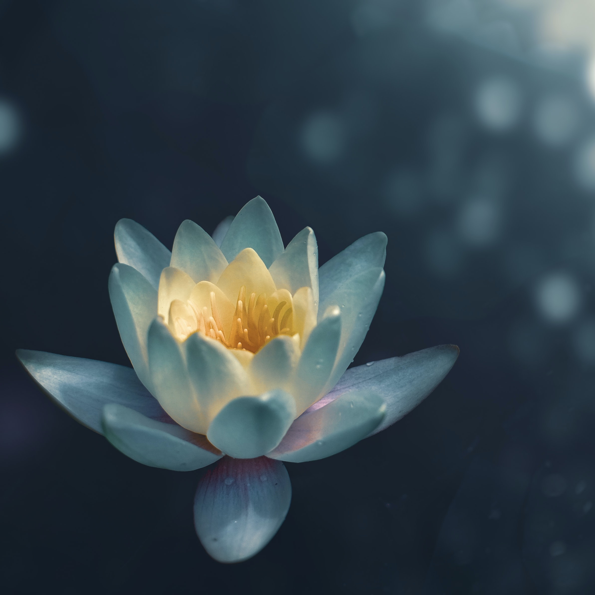 lotus flower sitting peacefully on a lake with sun glistening off of the water
